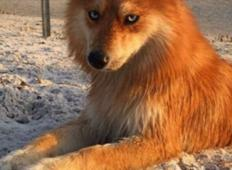Žival, ki je ZAŽGALA internet! Zgleda kot lisica, v bistvu pa je...