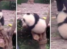 Tale moški je želel delati svoje delo, ko mu je mladiček pande, mešal štrene na najbolj smešen način!