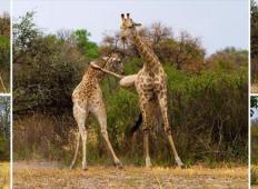 Si predstavljate pretepanje žiraf?! Izgleda natanko tako, kot kung fu!
